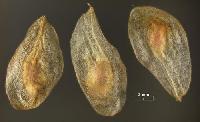 Gladiolus Seeds
