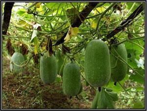 Fresh Ash Gourd (Neer Poosanikai)