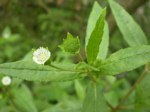 Karisalankanni Plant