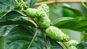 Morinda Citrifolia Plant