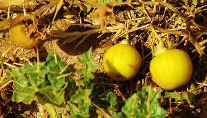 Yellow Berried Night Shade
