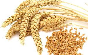 Wheat Seeds