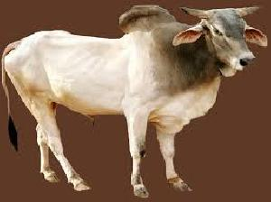 Cow at Best Price from Cow Suppliers & Wholesalers in India