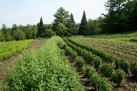 Herbs Farming
