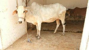 Tharparkar Cow