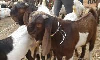 Jamunapari Goat Male