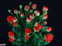 Zadique Roses