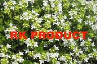 Fresh White Thyme Flowers