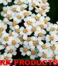 Fresh Yarrow Flowers