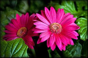 Fresh Pink Gerbera Flowers