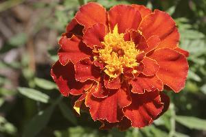 Fresh Red Marigold Flowers