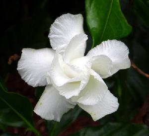 Fresh Tagar Flowers