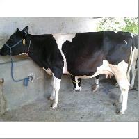 Black White Hf Cow