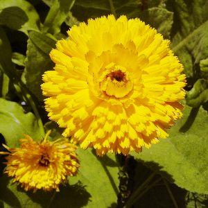 Fresh Calendula Flowers