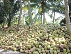 Garden Fresh Coconuts