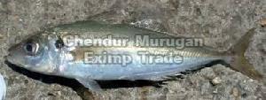 Live Horse Mackerel Fish