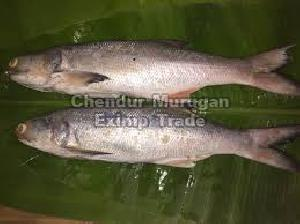 Live Indian Salmon Fish