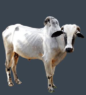 Live Deoni Cow