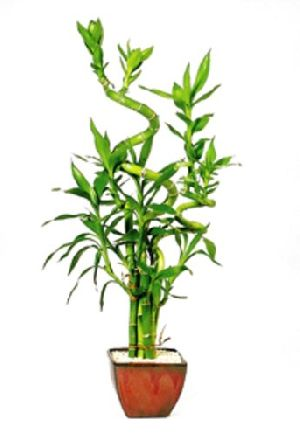 Natural Bamboo Plants