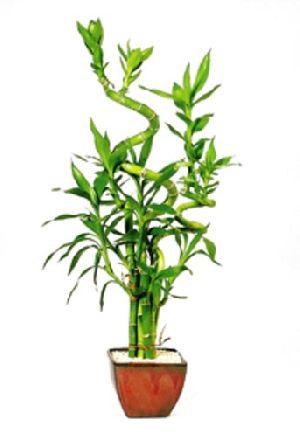 Nbp 001 Natural Bamboo Plants