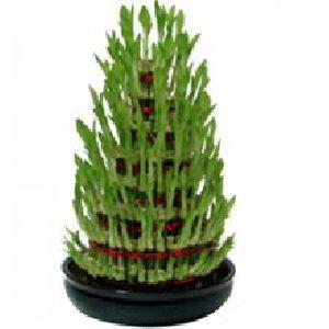 Nbp 004 Natural Bamboo Plants
