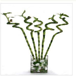 Nbp 005 Natural Bamboo Plants