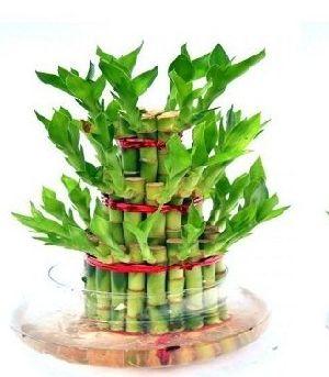 Nbp 006 Natural Bamboo Plants