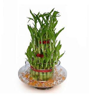 Nbp 007 Natural Bamboo Plants