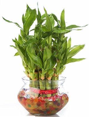 Nbp 009 Natural Bamboo Plants