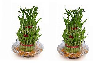Nbp 010 Natural Bamboo Plants