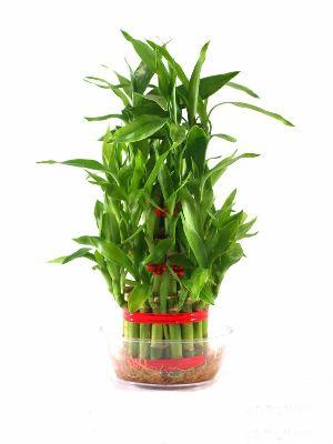 Nbp 011 Natural Bamboo Plants