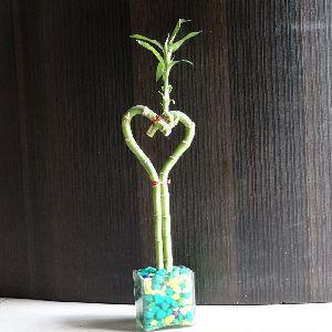 Nbp 012 Natural Bamboo Plants