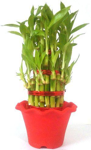 NBP 014 Natural Bamboo Plants