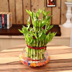 NBP 015 Natural Bamboo Plants