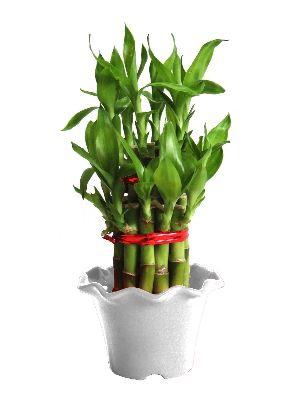 Nbp 016 Natural Bamboo Plants