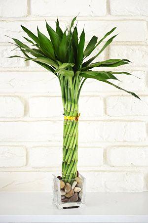 Nbp 019 Natural Bamboo Plants