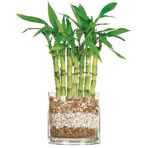 Nbp 020 Natural Bamboo Plants