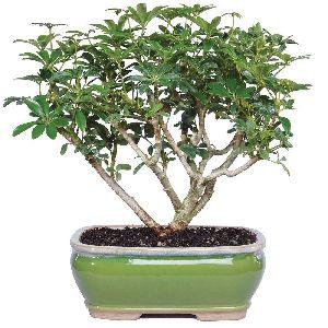Natural Bonsai Plants