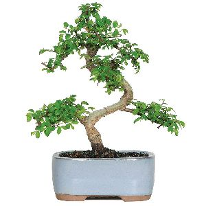 NBP 002 Natural Bonsai Plants