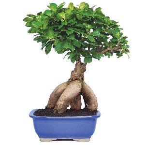 NBP 003 Natural Bonsai Plants