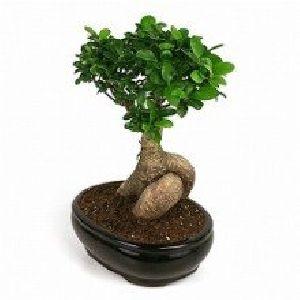 NBP 004 Natural Bonsai Plants