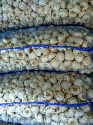 Fresh Indian Garlics