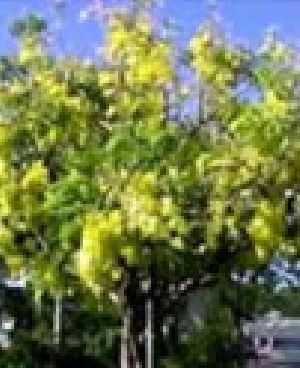 Indian Laburnum-purging Cassia