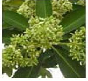Alstonia Scholaris Plants
