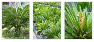 Cycad Plants