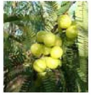 Phyllanthus Emblica Plants