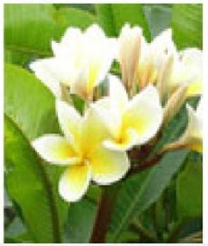 Plumeria Alba Plants