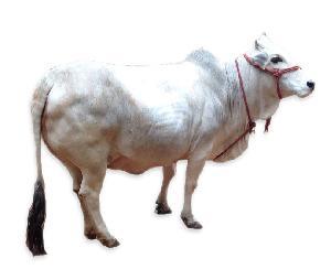 Live Punganur Cow