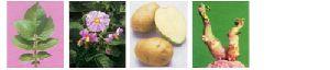 Fresh Kufri Chandramukhi Potato