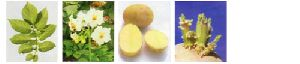 Fresh Kufri Chipsona Potato